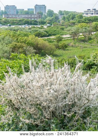Kijkduin, The Hague, The Netherlands - May 12 2018: A Nest Of Toxic Invasive Oak Processionary (thau