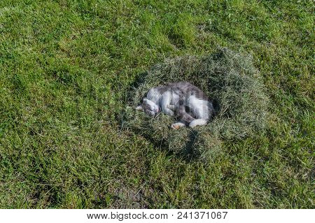 Grey Cat Sleeping In A Nest Of Mown Grass