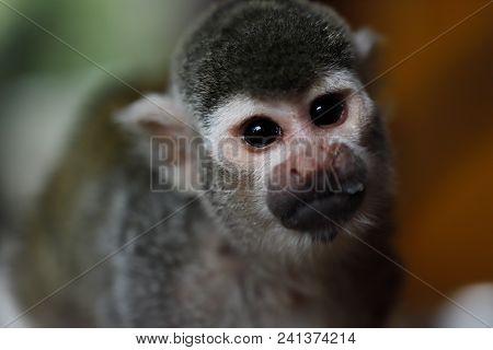 Close-up Portrait Of Saimiri Squirrel Monkey. Photography Of Wildlife.