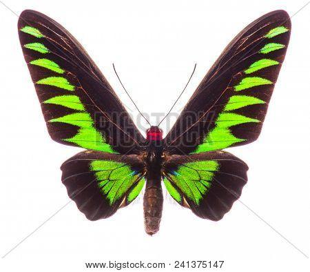 Male Rajah Brooke's birdwing (Trogonoptera brookiana) isolated on white background