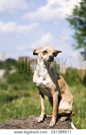 Russian Smooth-coated Toy Terrier Listens Carefully To The Wind (canis Lupus Familiaris)