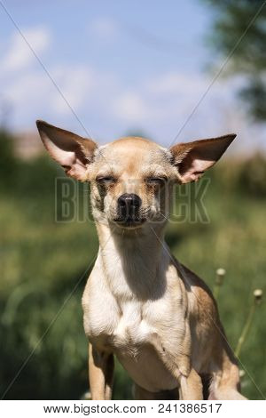 Russian Smooth-coated Toy Terrier Set His Ears Apart (canis Lupus Familiaris)