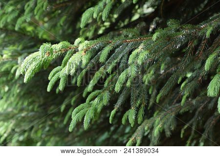 New Sprouts Of Conifer Also Called Pinales In Early Summer Time, Different Shades Of Green Of A Fir.