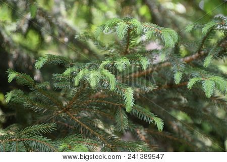 New Growth On Conifer Branch , Evergreen Coniferous Plant Sprouts With Soft Green Needle Foliage.
