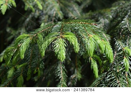 Fresh Bright Green Young Sprouts Of Conifer