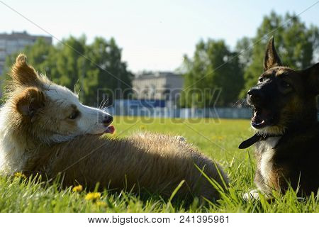 An Angry Dog attacks. The Dog Bites. Dangerous For Society. Correction Of Complex Dogs. Training