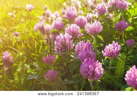 Pink Summer Flowers Of Clover Lt By Warm Summer Sunlight - Summer Sunset Landscape. Summer Meadow Wi