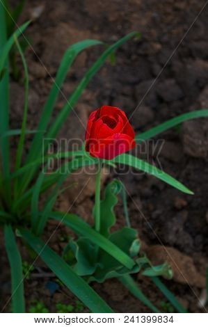 Scarlet Tulip In The Garden On A Contrasting Background