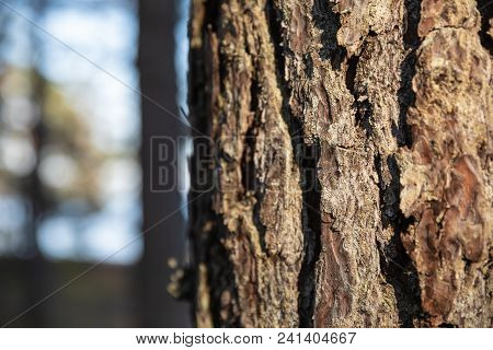 Cracks On The Trunk Of A Pine Tree
