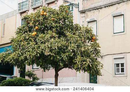 Orange Tree With Fruits In Downtown In Lisbon, Portuguese. Gardening Or City Landscape. Fruit-tree W