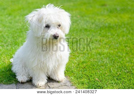 An adorable, curious puppy seems curious and inquisitive while sitting on green grass in a vibrant, summer backyard setting. poster