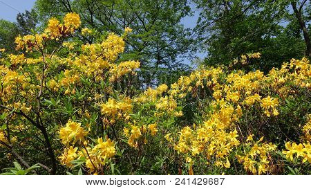 Rhododendron Yellow Spring In The Park Against The Background Of Tall Green Trees And Blue Sky. Rhod