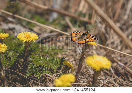 The Small Tortoiseshell Aglais Urticae Butterfly Sitting On Coltsfoot Tussilago Farfara Yellow Flowe