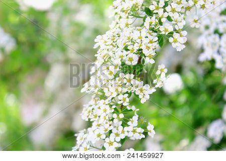 Summer white flowers bloom. Spiraea japonica. Meadowsweet. Branch white flowers. White buds. White flowers blurred background. White flowers bloom in summer