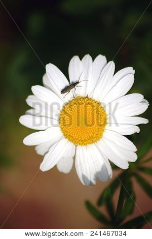The Close-up And Top View On The White Blossom Of A Daisy With A False Blister Beetle At The Pollen.