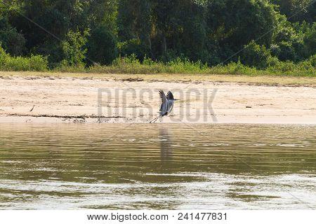 A grey heron flying over water from Pantanal wetland area, birdwatching, Brazil. Brazilian wildlife poster