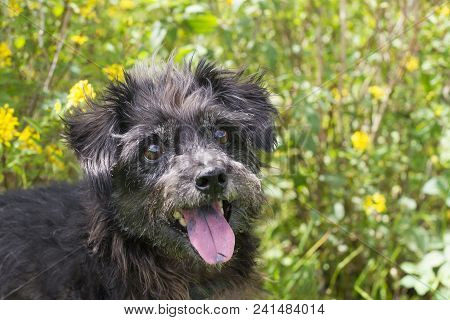 Black Dog Playing At The Park.  Yellow Flowers, Tongue Out. Cute Mutt Smiling