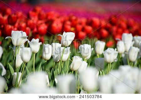 Elegant Pure White Tulips In Tulip Field With Rows Of Red Tulips In The Background, Conceptual Love,