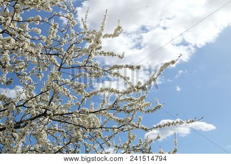 Flowering Fruit Tree And Many Flying Bees Collecting Nectar Against Blue Sky / Flora And Fauna In Th