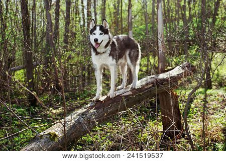 Dog On A Fallen Tree In A Spring Forest. Siberian Husky Black And White Colour Outdoors. A Pedigreed
