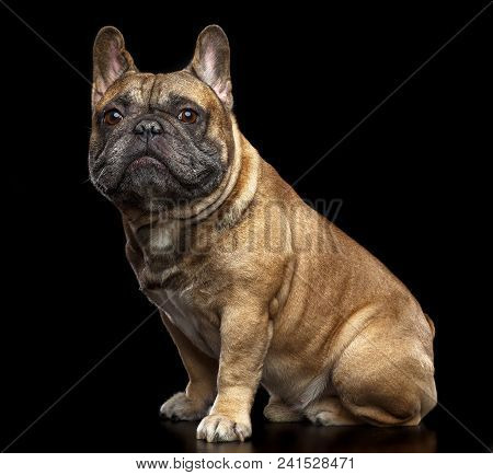 French Bulldog Dog  Isolated  On Black Background In Studio