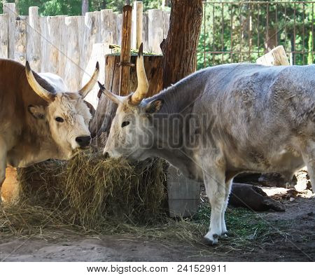 Hungarian Steppe Cattle Eating Dry Hay In Feeder. Rare European Breed Of Cattle With Horns.
