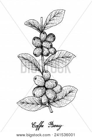 Tropical Fruits, Illustration Of Hand Drawn Sketch Ripe Coffee Berries Or Coffea Arabica Fruits On T