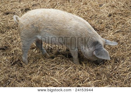 Domestic Pig And Manure