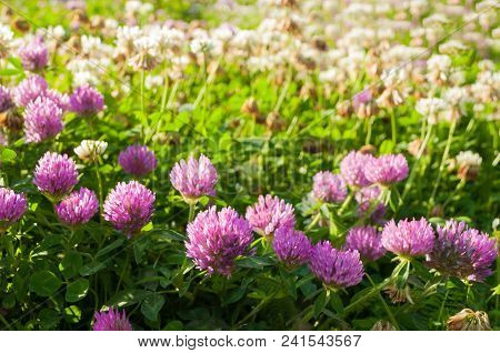 Summer Meadow With Pink Blooming Summer Flowers Of Clover - Sunny Summer Landscape. Pink Clovers Blo