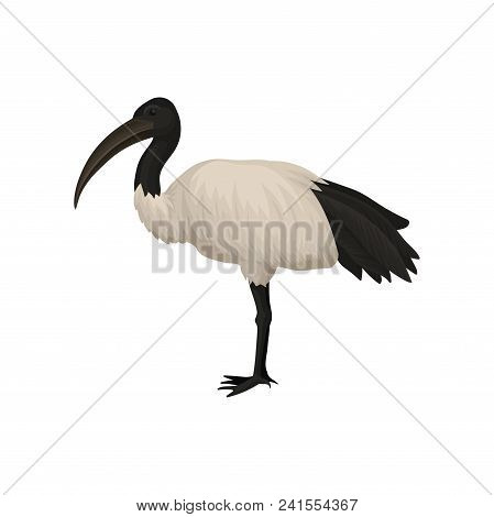 Colorful Illustration Of Ibis. Sacred Bird Of Egypt. Wild Feathered Black And White Animal With Long
