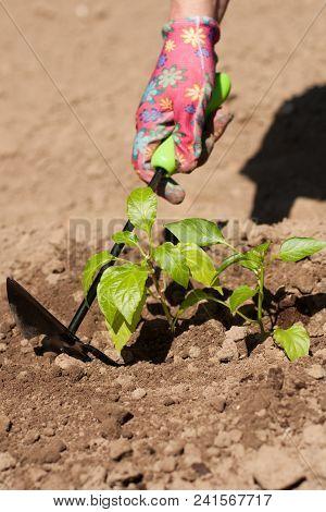 Seasonal Planting Of Plant Vegetables. Female Farmer Loosen Ground Around Vegetable Plant Peppers Wi
