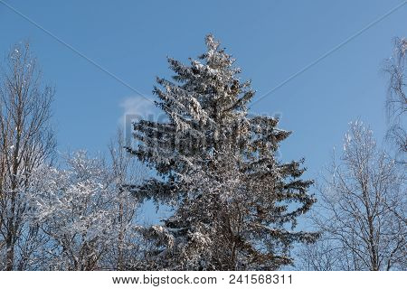 Coniferous Tree Covered With Snow Against The Blue Sky.