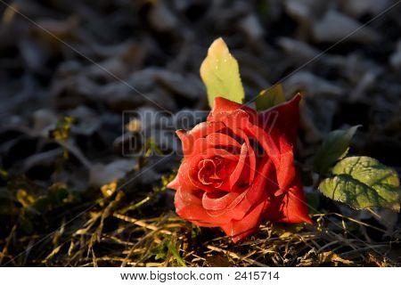Rose Among Thorns