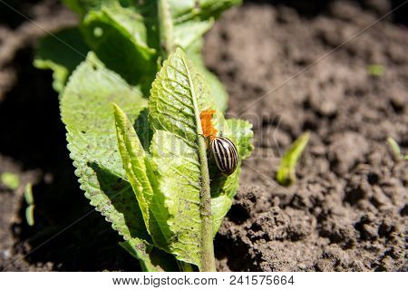 Potato Bug Lays Eggs On The Green Leaves.