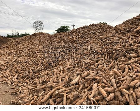 Pile Of Cassava Or Tapioca Root For Starch  Production Industry