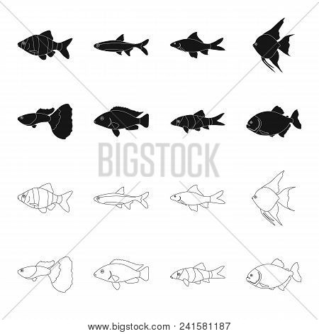 Botia, Clown, Piranha, Cichlid, Hummingbird, Guppy, Fish Set Collection Icons In Black, Outline Styl