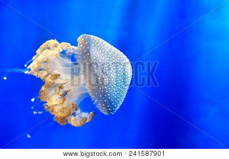 White Spotted Jellyfish Aka Floating Bell Or Australian Spotted Jellyfish , Little Jellies Medusa On