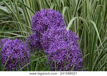 Persian Onion Flowers In Botanical Garden, Allium Cristophii, Persian Onion Or Star Of Persia