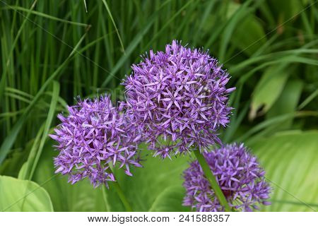 Blooming Allium Cristophii, Persian Onion Or Star Of Persia