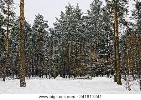 Green Pine Trees In The Snow In The Winter Forest