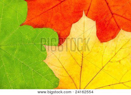 Three Colorful Autumn Maple Leaves