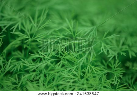 Nature background. Very shallow depth of field. A herb called Dill.