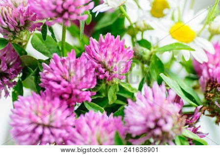 Pink Clover Flowers In Bouquet. Close Up.