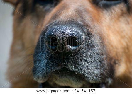 Close Up Shot Of The Dog Nose