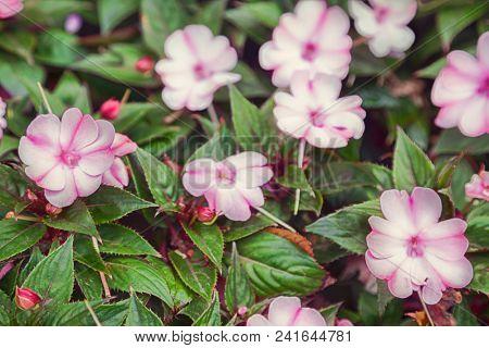 Close-up of Impatiens flower