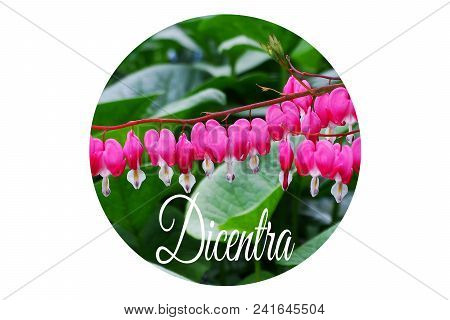 Dicentra in spring garden nature flowers flora floristics botany bloom garden seasonal concept background badge website banner icon template geometric figure colorful vintage design trendy wallpaper texture beautiful style modern outdoor. poster