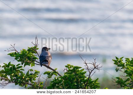 Grey Crow, Hooded Crow Or Corvus Corone Cornix On Branch.