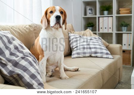 Portrait Of Mature Purebred Beagle Dog Sitting On Couch In Modern Apartment And Looking At Camera, C