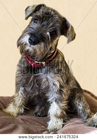 Puppy Of A Miniature Schnauzer. Miniature Schnauzer Dog Breed