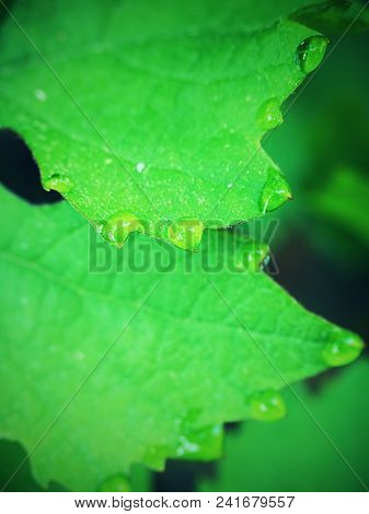 Grape Leaf With Dew Drops.vine Leaf, Water Drop.   Beautiful Drops Of Rain Water On A Green Leaf. Dr